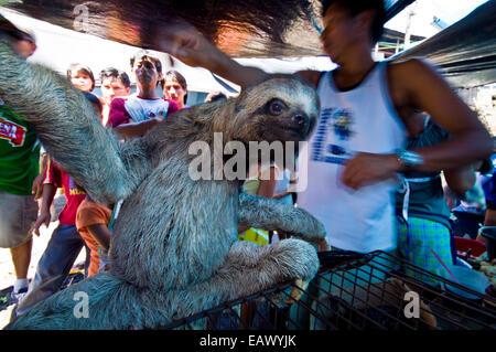 Un mineur brown-throated trois-toed sloth pour vente illégale dans un marché noir. Banque D'Images