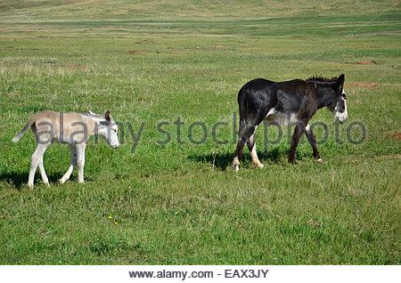 """Un bébé âne suit sa mère sur un chemin près de la """"boucle"""" de la faune dans la région de Custer State Park, dans Banque D'Images"""