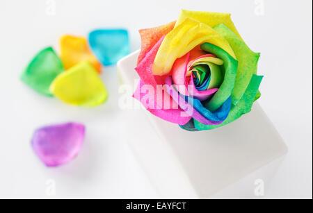 Rose arc-en-ciel dans vase blanc Banque D'Images
