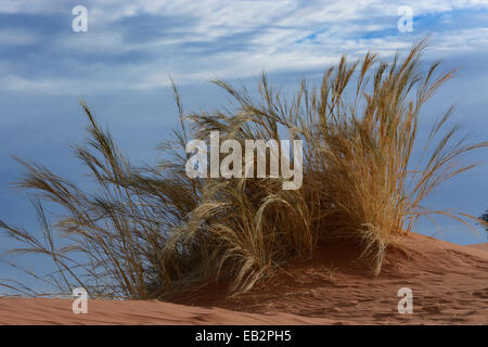 L'herbe pousse sur la Dune Elim, Namib, Namibie, région Hardap