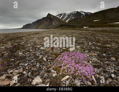 Le silène acaule ou un coussin Rose (Silene acaulis), l'île de Spitsbergen, Svalbard, archipel de Svalbard et Jan Mayen (Norvège)