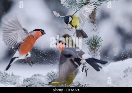 Bullfinches sur tree face Banque D'Images