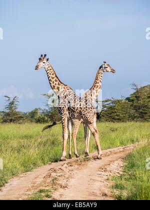 Deux girafes traversant une route sur la savane en safari dans le Parc National du Serengeti en Tanzanie, Afrique. Banque D'Images