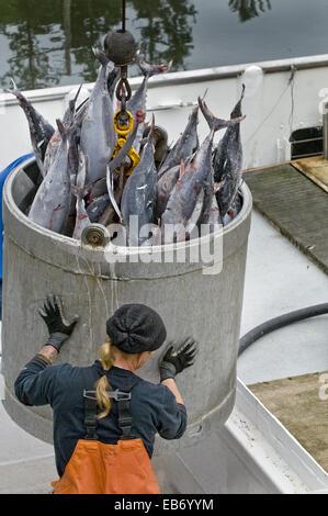 Le thon germon congelé d'être hissé à partir de la cale à poisson en bateau de pêche commerciale à l'usine de transformation Banque D'Images