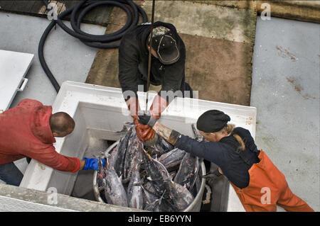 Ouvriers à l'usine de transformation de fruits de mer au bord de l'eau guidant seau thon germon congelé tel qu'il Banque D'Images
