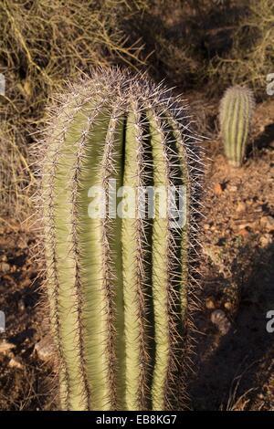 USA, Arizona, Saguaro National Park, West-Tucson Mountain District, Fishhook Cactus Ferocactus Wislizenii Baril Banque D'Images