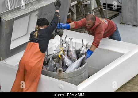 Ouvriers à l'usine de transformation de fruits de mer au bord de l'eau guidant seau rempli de thon germon congelé Banque D'Images