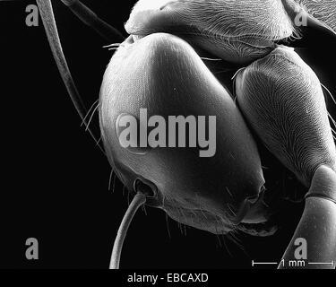 Microscope électronique à tête ant agrandissement d'électrons la photomicrographie. Banque D'Images