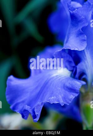 Gros plan d'une fleur d'iris bleu Banque D'Images