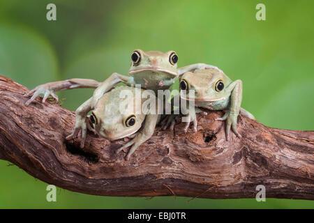Trio de singe cireuse Rainettes réunis sur une branche Banque D'Images