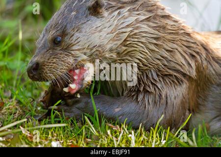 La loutre de rivière (Lutra spec.), manger drucian la carpe, la Norvège, Troms