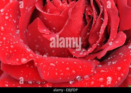 Rose (Rosa spec.), fleurs rouges avec des gouttes de pluie Banque D'Images