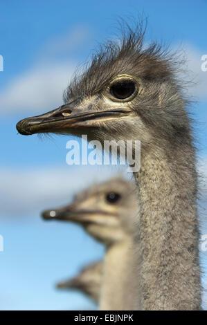 Autruche (Struthio camelus), portrait, Afrique du Sud, Western Cape, Oudtshoorn Banque D'Images