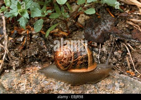 Escargot, brown, gardensnail escargot commun, l'escargot (Helix aspersa, Cornu aspersum, Cryptomphalus aspersus), Banque D'Images