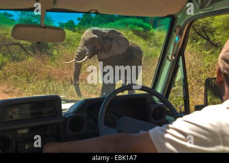 L'éléphant africain (Loxodonta africana), l'éléphant mâle qui traversent la route devant une voiture, la Tanzanie, Banque D'Images