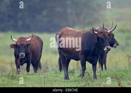 Bovins Heck (Bos primigenius f. taurus), vache paissant dans un pâturage, Allemagne, Schleswig-Holstein, Naturschutzgebiet Weidelandschaft Eidertal