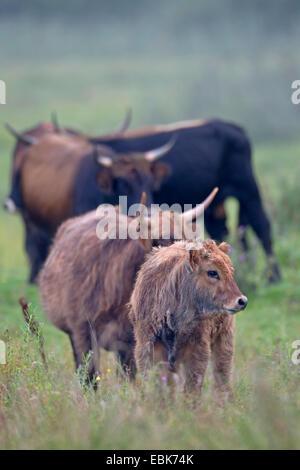 Bovins Heck (Bos primigenius f. taurus), les vaches veaux un pâturage dans un pâturage, Allemagne, Schleswig-Holstein, Naturschutzgebiet Weidelandschaft Eidertal