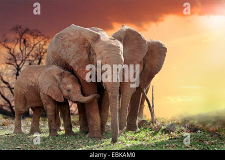 L'éléphant africain (Loxodonta africana), les éléphants avec jeune animal dans le coucher du soleil, Parc National Banque D'Images
