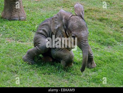 L'éléphant africain (Loxodonta africana), bébé éléphant dans un pré, Parc National d'Amboseli, Kenya Banque D'Images