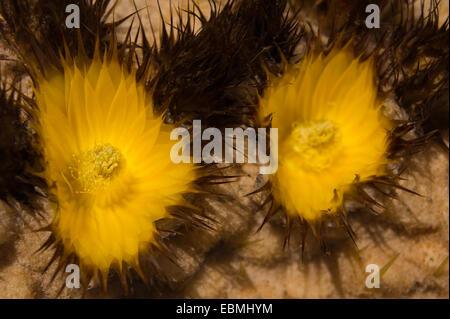 Close up of cactus flower Golden Barrel Cactus bateau à quille. Jardin de cactus, Lanzarote, îles Canaries. Endémique Banque D'Images