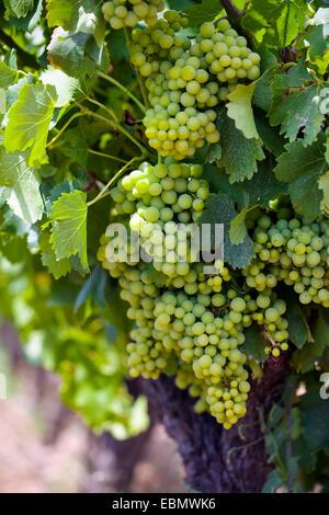 Raisin blanc sur la vigne Banque D'Images