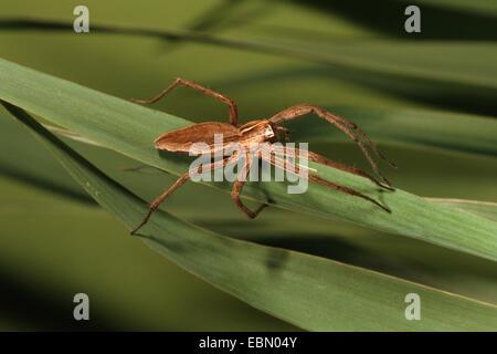 Spider web pépinière pêche fantastique, Pisaura mirabilis (araignée), sur une feuille, Allemagne Banque D'Images
