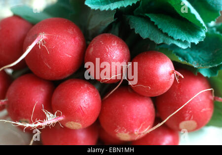 Jardin radis (Raphanus sativus var sativus), red garden radish Banque D'Images