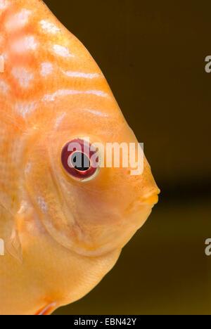 Discus (Symphysodon aequifasciatus bleu), race rouge Marlboro, portrait