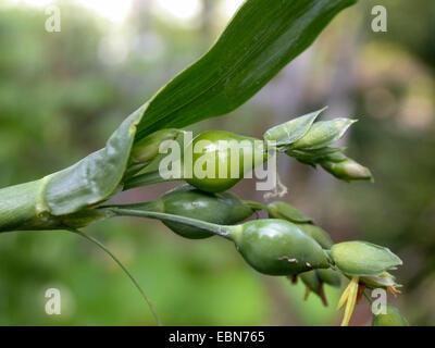 Les larmes de Job (Coix lacryma-jobi), blooming Banque D'Images