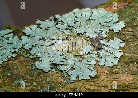 Hypogymnia (Hypogymnia physodes), sur l'écorce, Allemagne Banque D'Images