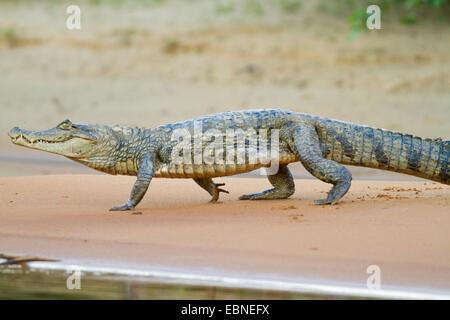 Caïman à lunettes (Caiman crocodilus) rivière Rupununi, Guyana, en Amérique du Sud. Banque D'Images