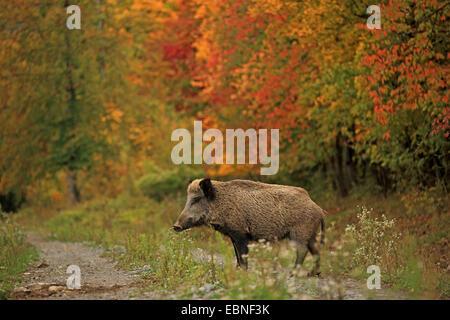 Le sanglier, le porc, le sanglier (Sus scrofa), sur un sentier de forêt en automne, l'Allemagne, Bade-Wurtemberg Banque D'Images