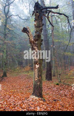Woodpecker a piraté de nombreux trous à la recherche de nourriture dans un tronc pourri, Allemagne Banque D'Images