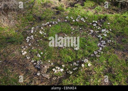 Clitocyboid (champignon Clitocybe spec.), anneau de fées de Clitocyboid les champignons, Allemagne Banque D'Images