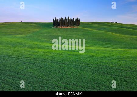 Cyprès (Cupressus sempervirens), grove dans un champ large paysage, Italie, Toscane, Val d' Orcia, San Quirico d'Orcia Banque D'Images