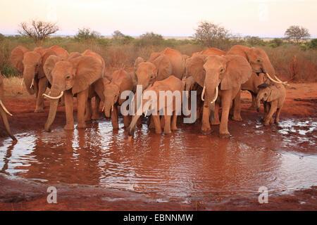 L'éléphant africain (Loxodonta africana), troupeau à un trou d'eau dans le sol rouge ferreux, le Kenya, l'Est de Banque D'Images