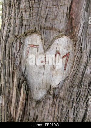 Prickly Juniper, Cade, figuier de cèdre, genévrier Cade, Cèdre Sharp à gros fruits, le genévrier (Juniperus oxycedrus ssp. macrocarpa, Juniperus macrocarpa), le coeur avec les initiales gravées dans un tronc d'arbre, Grèce, Macédoine