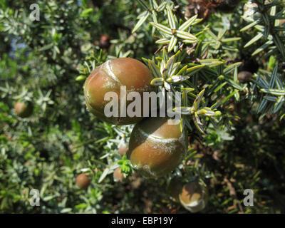 Prickly Juniper, Cade, figuier de cèdre, genévrier Cade, Cèdre Sharp à gros fruits, le genévrier (Juniperus oxycedrus ssp. macrocarpa, Juniperus macrocarpa), les petits fruits sur une branche, Grèce, Macédoine
