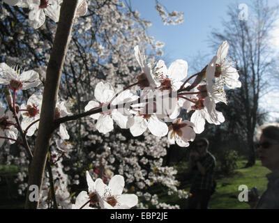 Cherry Plum, le Myrobolan prunier (Prunus cerasifera), Direction générale de l'éclairage en floraison Banque D'Images