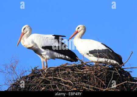 Cigogne Blanche (Ciconia ciconia), deux cigognes blanches au nid, Allemagne Banque D'Images