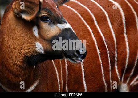 Bongo au zoo de Francfort am Main, Allemagne. Banque D'Images