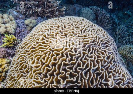 Corail cerveau de nuit sur l'île de Sebayur, Parc National de l'île de Komodo, en Indonésie, en Asie du Sud-Est, Banque D'Images