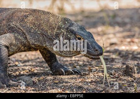 Des profils dragon de Komodo (Varanus komodoensis), dans le Parc National de Komodo, l'île de Komodo, en Indonésie, Banque D'Images