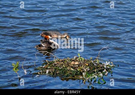 Grèbe huppé (Podiceps cristatus), couple avec chick nager près du nid, Allemagne, Rhénanie du Nord-Westphalie Banque D'Images