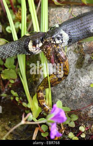 Couleuvre à collier (Natrix natrix), série photo 11, deux serpents se battre pour une grenouille, Allemagne, Mecklembourg-Poméranie-Occidentale