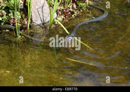 Couleuvre à collier (Natrix natrix), série photo 6, deux serpents se battre pour une grenouille, Allemagne, Mecklembourg-Poméranie-Occidentale