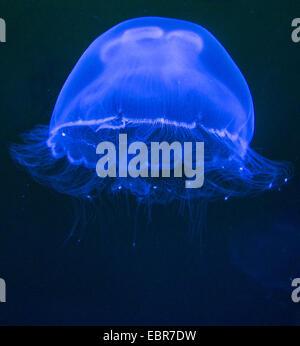 Moon jelly, méduse commune (Aurelia aurita), natation, Allemagne, Mecklembourg-Poméranie-Occidentale Banque D'Images