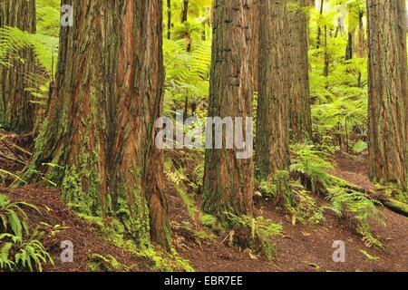 California Redwood, coast redwood (Sequoia sempervirens), les troncs des arbres et les fougères arborescentes, Nouvelle-Zélande, île du Nord, la baie de Plenty, la forêt de Whakarewarewa