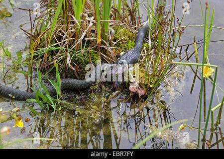 Couleuvre à collier (Natrix natrix), série photo 13, deux serpents se battre pour une grenouille, Allemagne, Mecklembourg-Poméranie-Occidentale