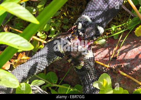 Couleuvre à collier (Natrix natrix), série photo 2 trois serpents, luttant pour une grenouille, Allemagne, Mecklembourg-Poméranie-Occidentale